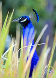 Peacock grass Royalty Free Stock Photography