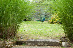 Peacock in the grass Stock Image