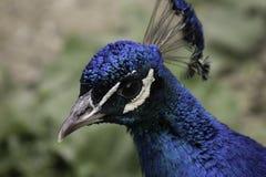 Peacock. A great Closeup shot of a peacock Royalty Free Stock Photo