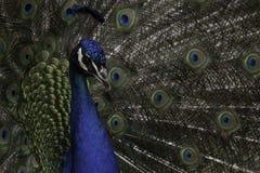 Peacock. A great Closeup shot of a peacock Stock Photo