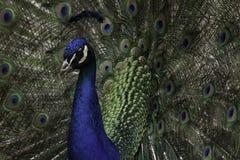 Peacock. A great Closeup shot of a peacock Stock Image