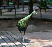 Peacock green Stock Photo