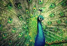 Peacock. Royalty Free Stock Photography