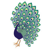 Peacock. Green-blue decorative peacock on white background Stock Photo