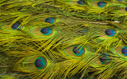 Peacock green and blue plumage in close up Stock Photo