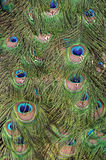 Peacock green and blue plumage in close up. Close up of peacock green and blue plumage Stock Photography