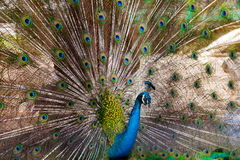 Peacock green Feathers blue birds Royalty Free Stock Image