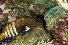 Peacock grouper (cephalopholis argus) royalty free stock photos