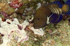 Peacock grouper (cephalopholis argus) royalty free stock image