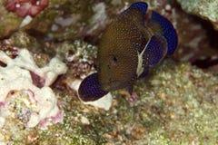 Peacock grouper (cephalopholis argus) Stock Image