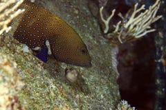 Peacock grouper (cephalopholis argus) stock photo