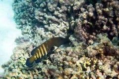 Peacock grouper stock photos