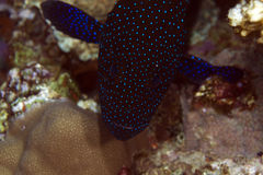Peacock grouper close-up in the Red Sea. stock photography