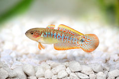 Peacock Gudgeon Tateurndina ocellicauda Royalty Free Stock Image