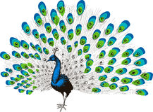 Peacock hand drawing Royalty Free Stock Photo