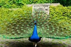Beautiful peacock displaying itself on a beautiful sunny day. Stock Photo