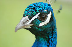 Peacock Head Stock Images