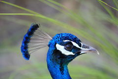 Peacock head. A close up of the head of a peacock Royalty Free Stock Photo