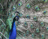Peacock head against tail feathers background Stock Photos