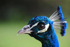 Peacock head closeup Royalty Free Stock Image