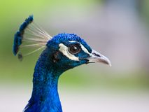 Peacock head closeup Stock Photography