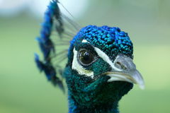 Peacock head. Closeup of a peacock head Stock Image