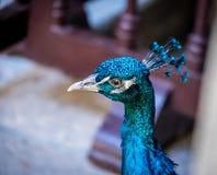 Peacock head Royalty Free Stock Photo