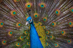 Peacock. Head on his background as a beautiful tail Stock Photos