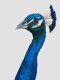 Peacock head and neck. Photo of a peacock's head and neck in profile and close up Royalty Free Stock Photo