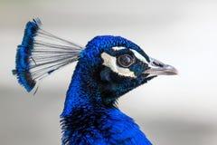 Peacock head portrait Stock Photo