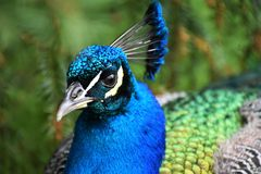 Peacock Head. A peacock's colourful neck and head Stock Image