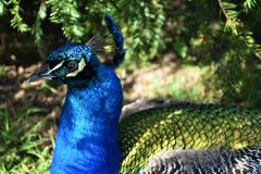 Peacock Head. A peacock sheltering from the sun under a tree Stock Images