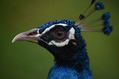 Peacock Head-Shot Stock Photo