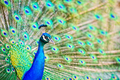 Peacock Head and Tail Display - Close Up Royalty Free Stock Photos