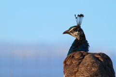 Peacock head turned Royalty Free Stock Photo
