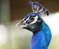 Peacock. Head of wild bird. Stock Photo