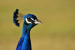 Peacock Headshot Royalty Free Stock Photo