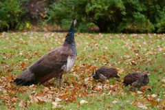 Peacock hen and chicks. A female peacock with two chicks Stock Image