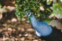 Peacock Hiding in the Brush stock images