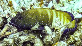 Peacock hind Groupers in the Maldives. stock photography