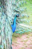 Peacock. And his colorful feather fully opened Royalty Free Stock Photography
