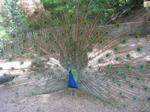 The peacock. In his pride Royalty Free Stock Photography