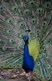A peacock in his pride Royalty Free Stock Photo