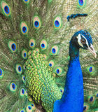 Peacock with his tail feathers Stock Photos