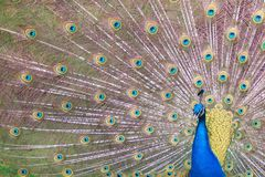 Peacock and his tale, Victoria, BC, Canada Royalty Free Stock Photography