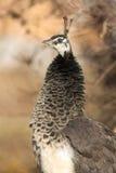 Peacock immature / Pavo cristatus Royalty Free Stock Photo