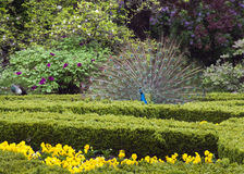 Peacock In Garden Stock Image