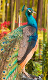 Peacock In Orchid Garden Stock Photos