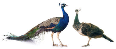Free Peacock In Studio Royalty Free Stock Image - 92281526