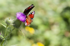 Peacock - Inachis io - thistle Royalty Free Stock Image